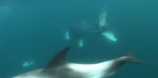 Humpback whale and dolphins