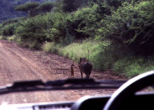 TImon and Pumbaa on the road