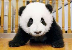 Vanity Fair panda