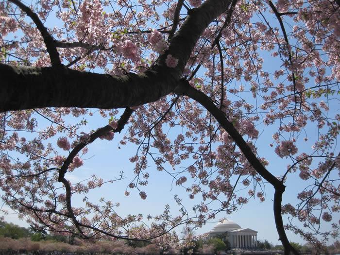 Pink blossoms Jefferson monument