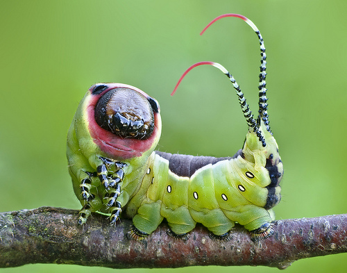 Moth caterpillar from Lukjonis Flickr photostream