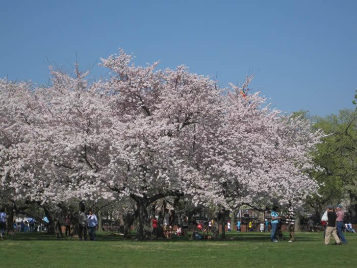 Washington blossom tree April 2010