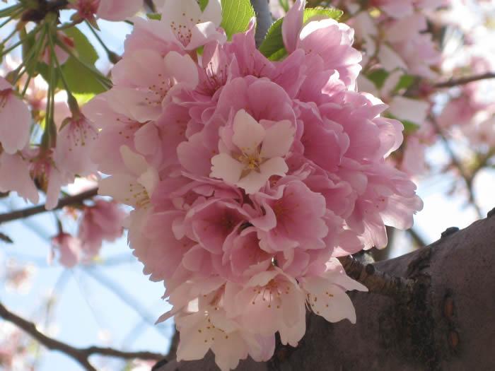 Pink blossoms tight April 2010