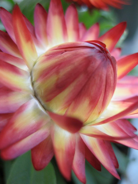 Strawflower picture botanical garden