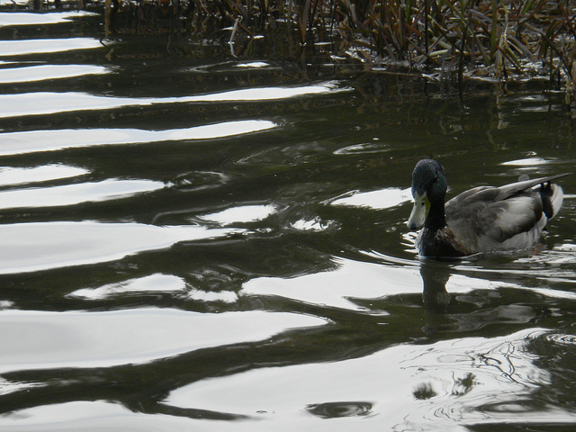 Ducks Kent's Pond May 5 2011