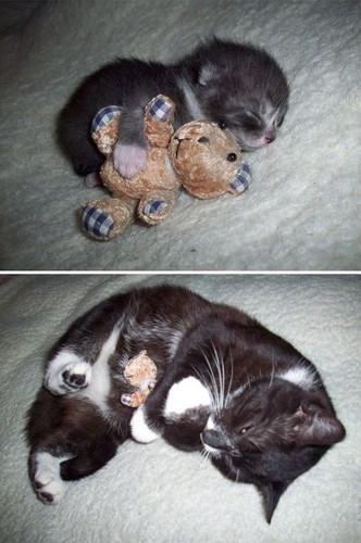 Kitten and cat with same toy