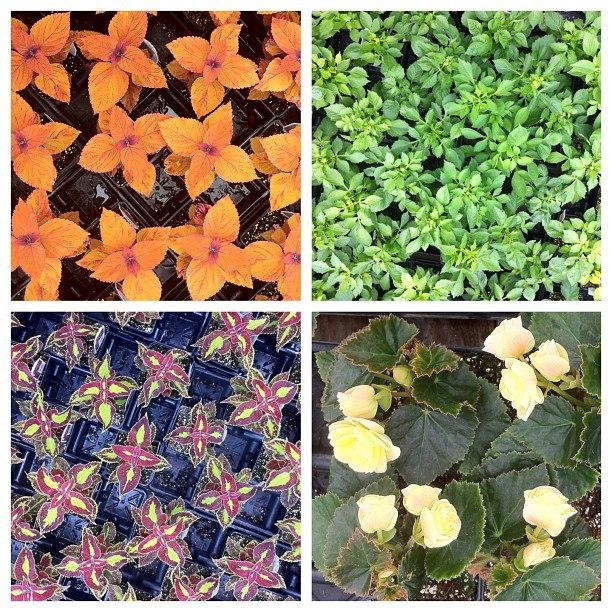 Spring colours at Lesters garden centre 20130512