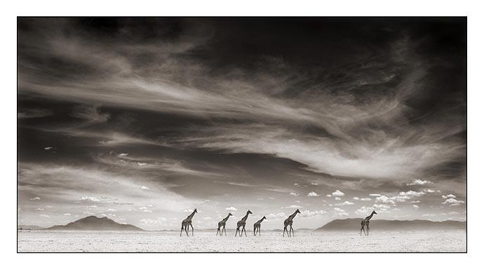 Nick_brandt_giraffesunderswirlingcl